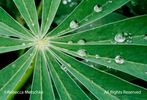 lupine leaves with raindrops