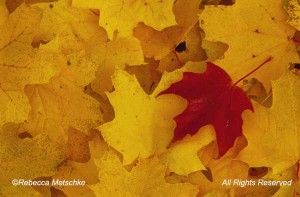 Single red maple leaf